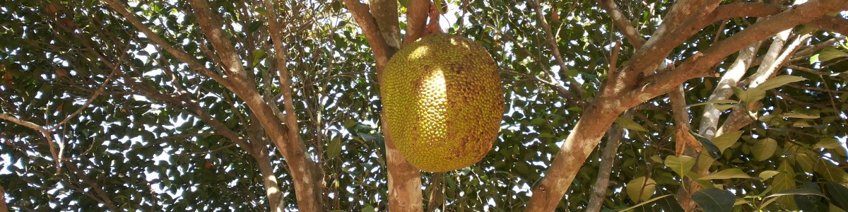 Hua Hin Durian